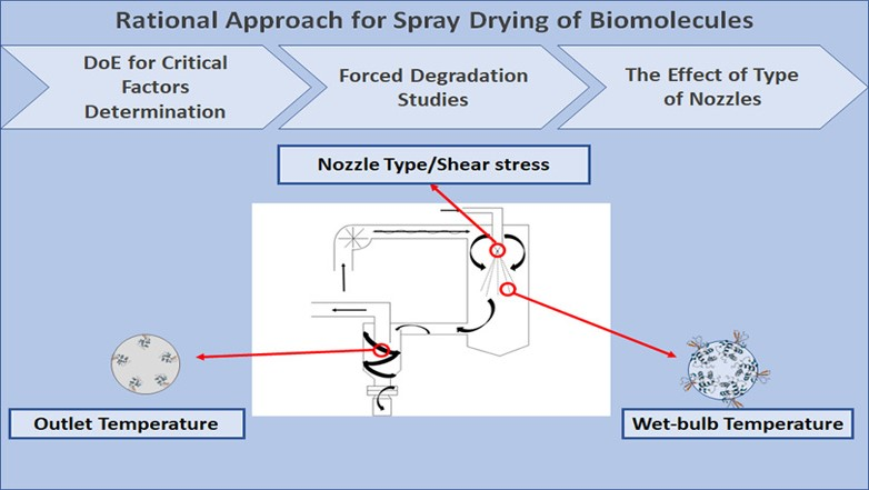 A rational approach towards spray drying of biopharmaceuticals: The case of lysozyme.